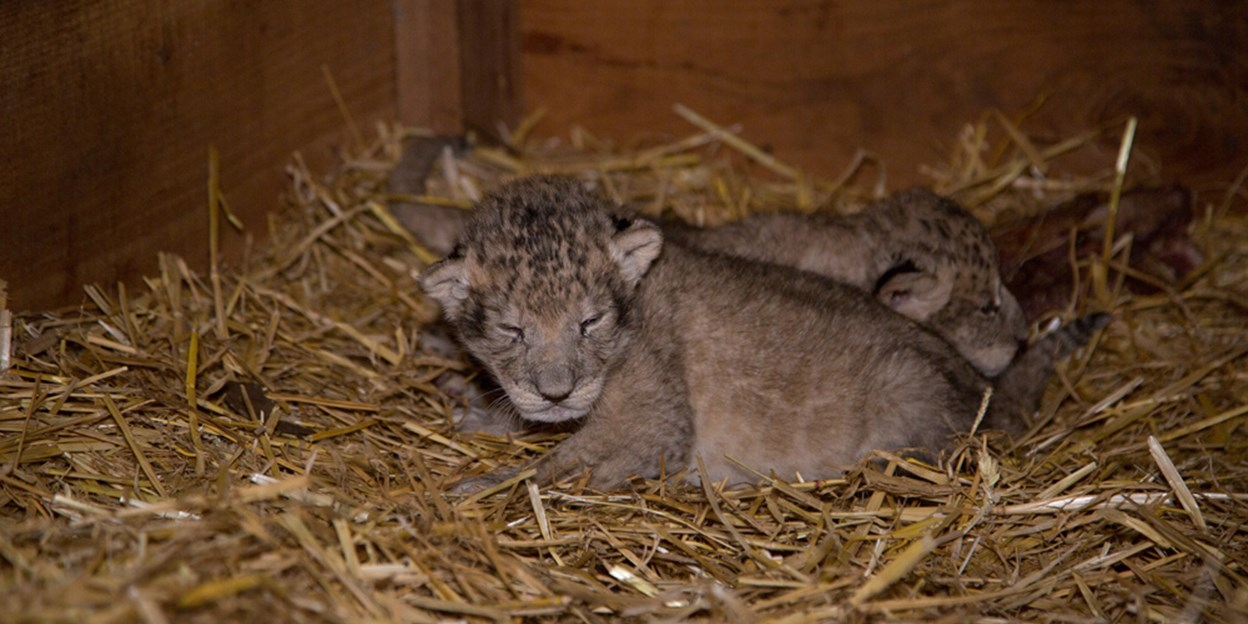 Arnhem lioness gives birth to triplets