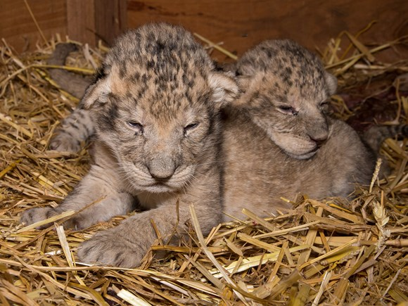 Lion cubs on display