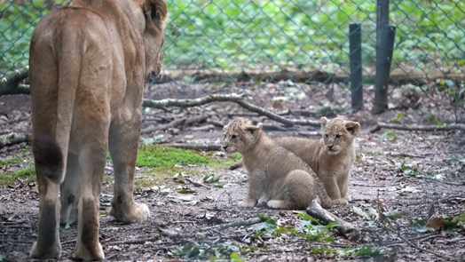 Lion cubs immune to feline panleukopenia and cat flu