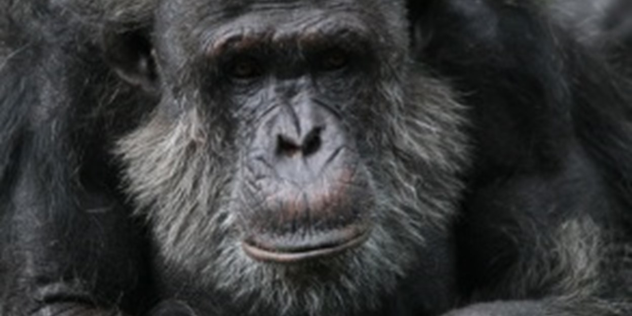 DNA-research identifies subspecies of chimpanzees