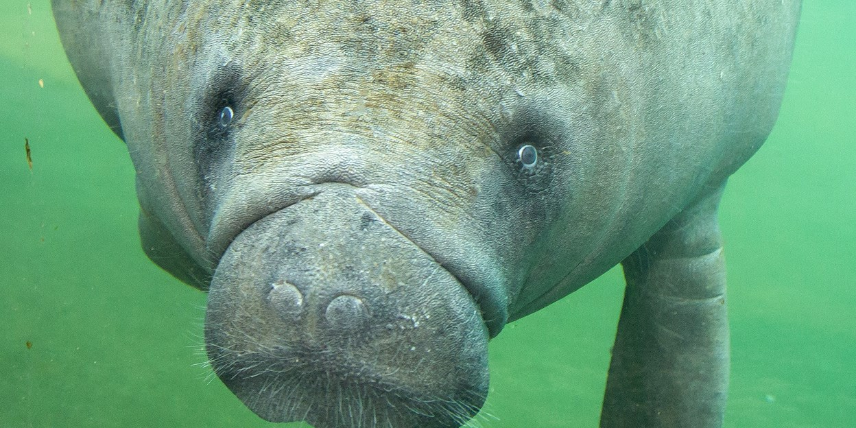 Manatee calf expected in Arnhem