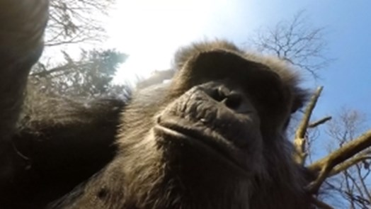 Chimpanzees pull drone out of the air and film each other!
