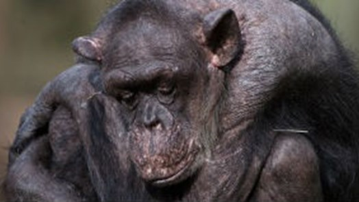 Famous chimpanzee passes away at very old age