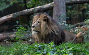 Zoo vet applies vasectomy to a lion